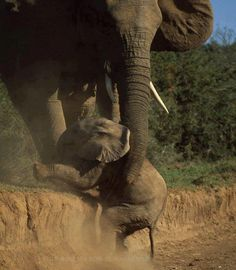 This little elephant was helped out by his mum when he took a nasty tumble while trying to climb up a steep bank at a national park in South Africa.