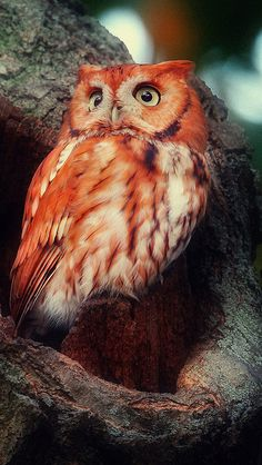 Red owl in hollow tree