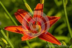 Image plant blooming orange tropical flower tiger lily. Shallow depth. Greeting card background. Horizontal background. Tropical Flowers, Shallow, Greeting Cards, Bloom, Lily, Seasons, Orange, Plants, Seasons Of The Year