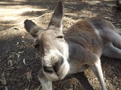 Very curious kangaroo