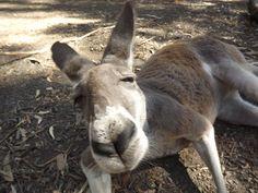 Very curious kangaroo