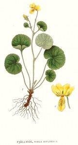 Botanical - Flower - Viola biflora