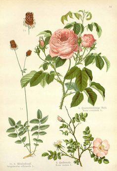Rosa centifolia, Rosa canina and Sanguisorba officinalis by F. Losch 1905