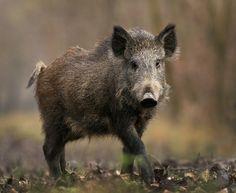 Wren Allford - wild boar pic 1080p windows - 2000x1642 px