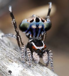 _X8A6783 peacock spider Maratus harrisi