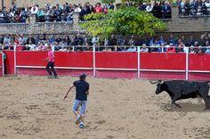 Santacara: Vacas Merino de Marcilla en Santacara (2) Cows, September, Fiestas