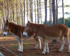 Mules (Belgian x donkey) All The Pretty Horses, Beautiful Horses, Cute Baby Animals, Funny Animals, Draft Mule, Burritos, Draft Horses, Mundo Animal, Horse Love