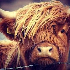Scottish Highland Cow, Highland Cattle, Cow Pictures, Animal Pictures, Cute Baby Animals, Farm Animals, Wild Animals, Cows Mooing, Fluffy Cows