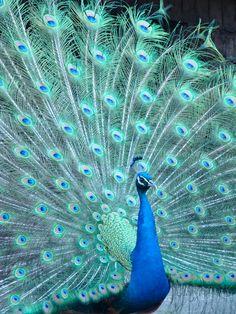 Peacock | by Fernando Bryan Frizzarin Pretty Birds, Love Birds, Beautiful Birds, Animals Beautiful, Nature Animals, Animals And Pets, Baby Animals, Cute Animals, Peacock And Peahen