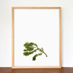 Botanic Study Prints, 500x700 Kauri