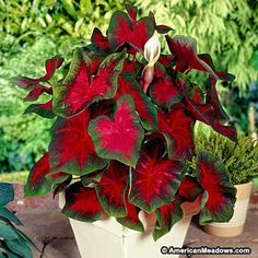 For a great splash of color in shady spots and patio pots, this striking Caladium variety has large, bright red leaves with green margins. Sure to be a conversation-starter.