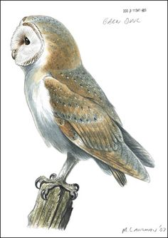 Barn Owl watercolour c/o RSPB Images/Mike Langman