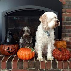 Pets, Halloween, Animals, Animales, Animaux, Halloween Stuff, Animal, Animais, Dieren