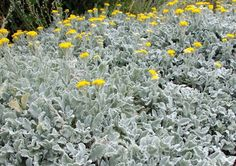 In praise of silver-leaved plants | Portugal Resident