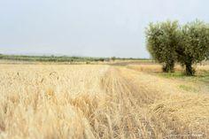 Il 18 giugno 2015 torna la festa del raccolto. Una giornata fra i campi di grano duro pugliesi. Scopri come partecipare!