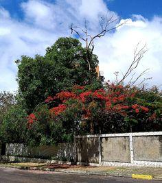 Delonix Regia, Plants, Plant, Planets