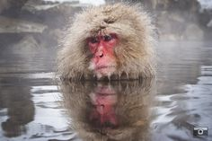 The Master  Macaques of Jigokudani. Japan