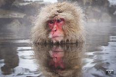 The Master  Macaques of Jigokudani. Japan