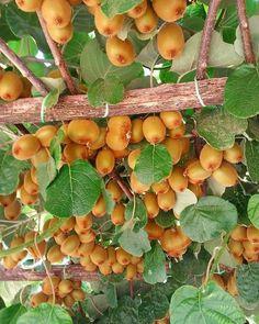 Kiwi harvest