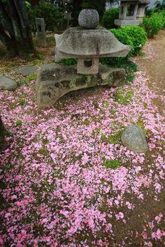 高画質 散り桜 写真 本満寺 灯籠 京都