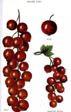 Botanical – Fruit – Biggles Berry Book -1899 – Berries