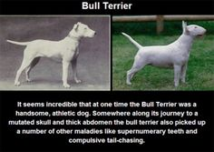What Years of Selective Breeding Did To Purebred Dogs Is Disturbing. #BullTerrier