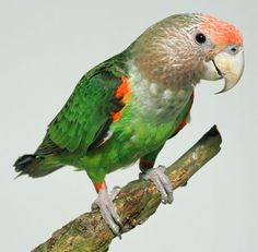As the Cape parrot's yellowwood fruit resource disappears, the bird has changed its diet—for example, turning to pecan trees—but it's not always able to find sufficiently wholesome food. Parrot Toys, Parrot Bird, Exotic Birds, Colorful Birds, Bird Barn, Barn Owls, Flamingo Bird, Extinct Animals, Cockatoo