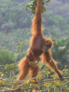 Global demand for palm oil is threatening the survival of the 6,600 orang-utans left in the rainforests of Sumatra and Borneo