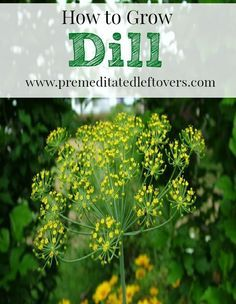 How To Make Dill Plants Bushy Should You Prune Dill Plants