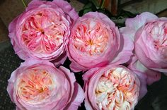 This is Constance, a new English Garden rose bred by David Austin in Wolverhampton, England, United Kingdom.