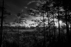 Sun throught the trees Big Cypress National Preserve BW