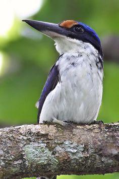 Winchell's kingfisher or Rufous-lored kingfisher (Todiramphus winchelli)   by Grandpa@50