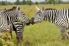 Jack Hanna's Valentine's Day  Finding love in a herd of stripes can be tricky! While filming in Kenya for Jack Hanna's Into the Wild, we came across this striking zebra herd.