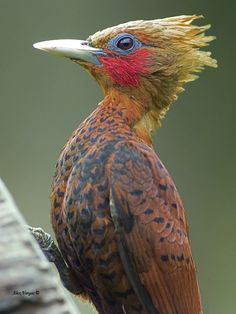 Chestnut-colored Woodpecker, Celeus castaneus: MX/CntAm