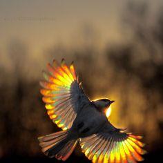 Carolina Chickadee flying at sunset by Edward Mistarka, via Flickr