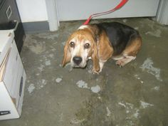 Stan is a 9 year old male Beagle mix. He is up to date on his vaccinations at NICHOLAS COUNTY ANIMAL SHELTER   #Summersville WV 26651  M-Sat 9:30a-3:30p     nicholasanimalshelter@yahoo.com  Ph 304 872 7877