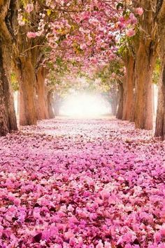 Path lined with pink cherry blossoms, Japan