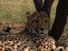 Lounging Cheetah by Pieter Geyser