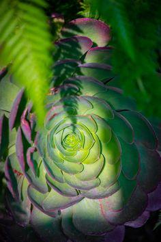 Esta especie de suculenta tiene una gama de color que va desde morados hasta los verdes más brillantes que hayas visto en una planta. Echeveria, Piano, Plant Leaves, Succulents, Plants, Blank Canvas, Landscape Design, Landscaping, Projects