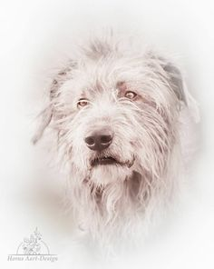 Bedlington Whippet, Irish Wolfhounds, Gentle Giant, Beautiful Dogs, Basement, Puppies, Draw, Black And White, Pets