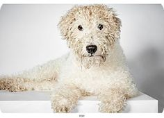 Fox Terrier (Wirehaired) Foxy