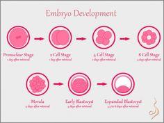 A really cool illustration of Embryo Development   EmbryosAlive.com