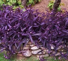 Picture of Purple Hearts