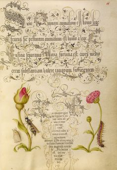 Wainscot, French Rose, Wasplike Insect, English Daisy, and Caterpillar; Joris Hoefnagel (Flemish / Hungarian, 1542 - 1600), and Georg Bocskay (Hungarian, died 1575); Vienna, Austria; 1561 - 1562; illumination added 1591 - 1596; Watercolors, gold and silver paint, and ink on parchment; Leaf: 16.6 x 12.4 cm (6 9/16 x 4 7/8 in.); Ms. 20, fol. 11
