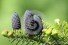 Photo about Fresh fir cone in spring time. Image of spring, young, nature - 30892519 Fir Cones, Spring Time, Fresh, Nature, Plants, Image, Naturaleza, Plant, Nature Illustration