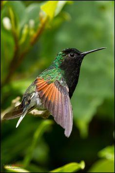 https://flic.kr/p/dkEH16 | Black-bellied Hummingbird | Virgen del Socorro, Costa Rica, www.chrisjimenez.net