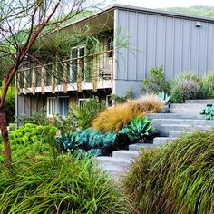 Lush landscaping for mid-century modern homes: ornamental grasses; plenty of sturdy Mediterranean staples such as rosemary, lavender, and phlomis; and a generous helping of sculptural species like agaves, aeonium, and euphorbia.
