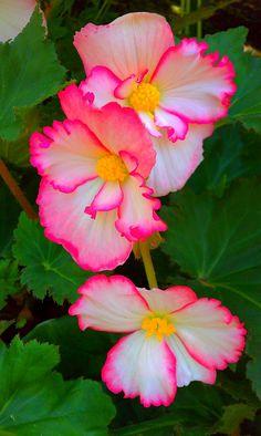 Pink & White Flowers. Butchart Garden. 2012