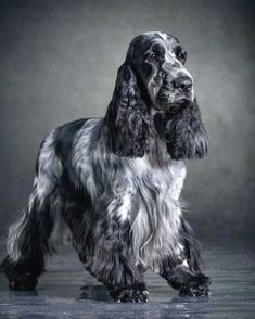 English Cocker Spaniel Puppies, Blue Roan Cocker Spaniel, Field Spaniel, Cute Baby Puppies, Cockerspaniel, Black Horses, Best Dog Breeds, Andalusian Horse, Friesian Horse