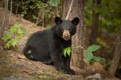 A young black bear. Always awesome to see on of these little guys in the wild! #tennessee #wildlife #smokies